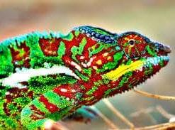 Gelina UV LED Chameleon